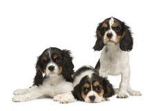 3只骑士查尔斯国王月小狗西班牙猎狗 库存图片