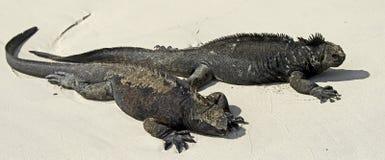 3只鬣鳞蜥海军陆战队员 免版税库存照片