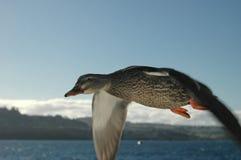 3只鸭子飞行 库存照片