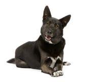 3品种狗德国多壳的混杂的sheperd年 免版税库存照片