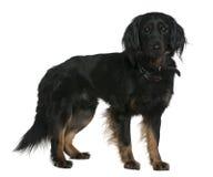 3品种狗混杂的老常设年 免版税库存照片