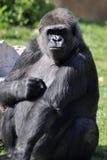 3大猩猩 免版税库存图片
