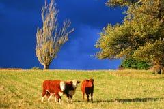 3头小牛 免版税图库摄影