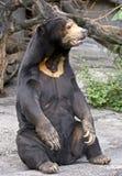 3头熊马来亚星期日 免版税库存照片