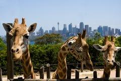 3头长颈鹿动物园 免版税库存照片