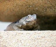 3奇怪的蜥蜴 库存照片