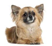 3奇瓦瓦狗位于的老年 免版税库存照片