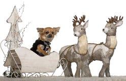 3奇瓦瓦狗圣诞节老雪橇年 免版税图库摄影