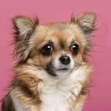 3奇瓦瓦狗接近的老年 免版税库存图片
