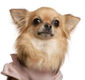 3奇瓦瓦狗接近的老年 免版税库存照片