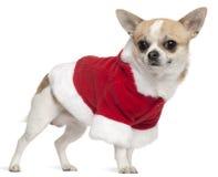 3奇瓦瓦狗老成套装备圣诞老人佩带的& 免版税图库摄影