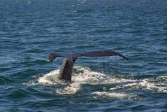 3尾标鲸鱼 库存照片