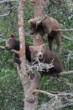 3崽北美灰熊结构树 库存图片