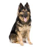 3德国牧羊犬年 库存图片