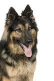 3德国牧羊犬年 库存照片