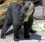 3戴了眼镜的熊 免版税库存照片