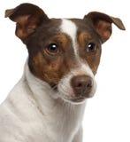 3接近的几年的插孔老罗素狗 免版税库存图片