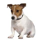3插孔老罗素坐的狗年 库存照片