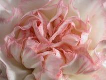 3支康乃馨粉红色 库存照片