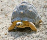3放热的草龟 库存照片