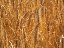 3有胡子的麦子 库存照片