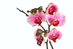 3朵兰花紫罗兰色白色 图库摄影