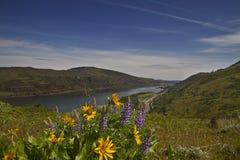 3朵哥伦比亚峡谷河野花 库存图片