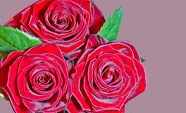 3朵明亮的叶子红色玫瑰 库存照片