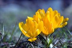 3朵番红花黄色 库存图片
