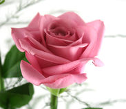 3朵礼品玫瑰 免版税库存图片