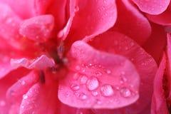 3朵背景花粉红色 免版税库存照片