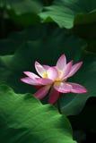 3朵花莲花 免版税图库摄影
