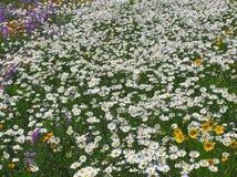 3朵雏菊其他野花 库存照片