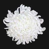 3朵雏菊查出的白色 库存照片