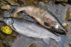 3条三文鱼 免版税库存照片