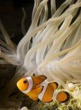 3条小丑鱼 库存图片