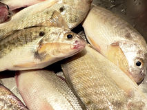 3条接近的鱼厨房水槽 免版税库存图片