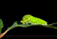 3条毛虫绿色叶子 免版税库存照片