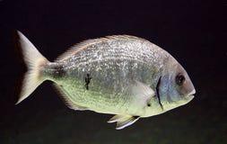 3条水族馆鱼 免版税库存照片
