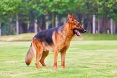3条狗德国牧羊犬 免版税库存照片