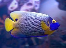 3条神仙鱼blueface 库存照片