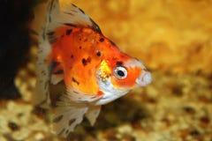 3条鱼fishbowl 库存照片