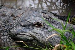 3条鳄鱼美国人 库存照片