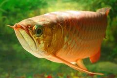 3条arwana鱼 库存照片