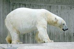 3极性的熊 免版税库存图片