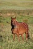 3棕色马红色 免版税库存图片