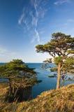 3棵海岸杉木 图库摄影