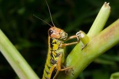 3棵草蚂蚱 免版税图库摄影