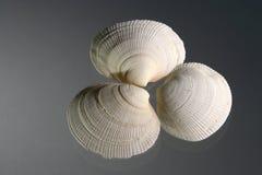 3海扇壳 免版税库存照片