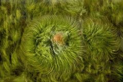 3海藻 图库摄影